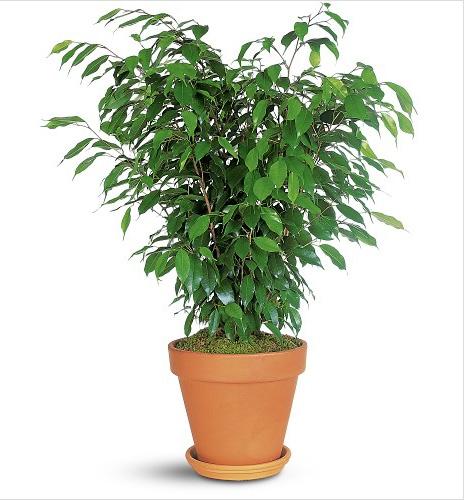 Product Ficus