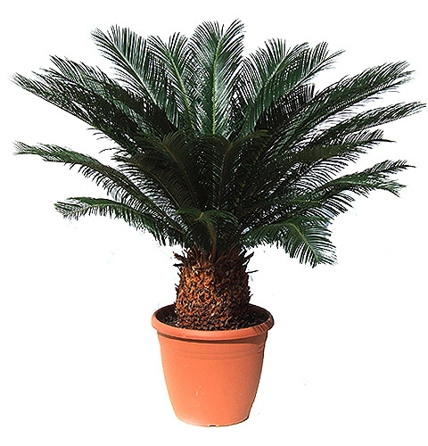 Product Cycas