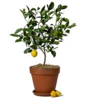 Product Lemon