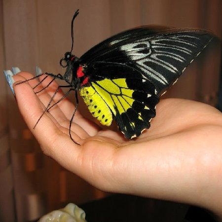 Product Butterfly Troides rhadamantus