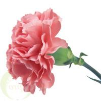 Bouquet Сarnation