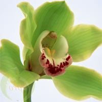 Bouquet Orchid