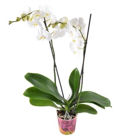 Bouquet White Orchid