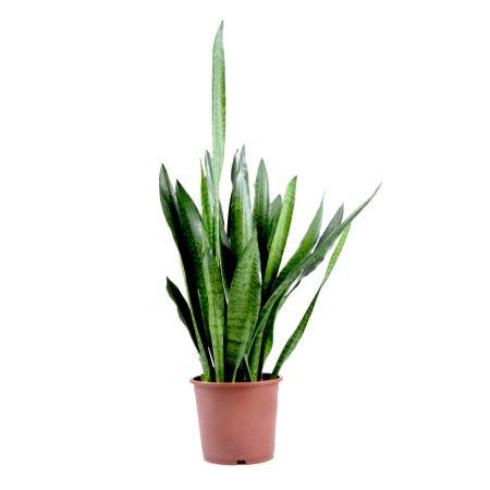 Bouquet Plant Sansevieria