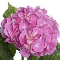 Bouquet Pink hydrangea by piece