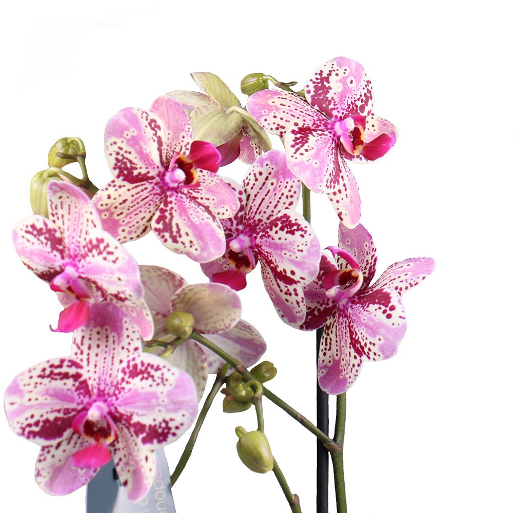 Product Orchid is spotty