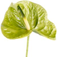 Order anthurium green piece | Delivery