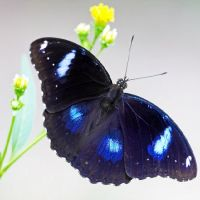 Product Butterfly - Hypolimnas bolina