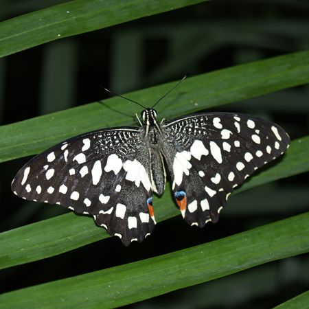 Product Butterfly - Papilio demoleus
