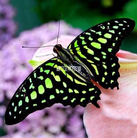 Product Butterfly - Graphium