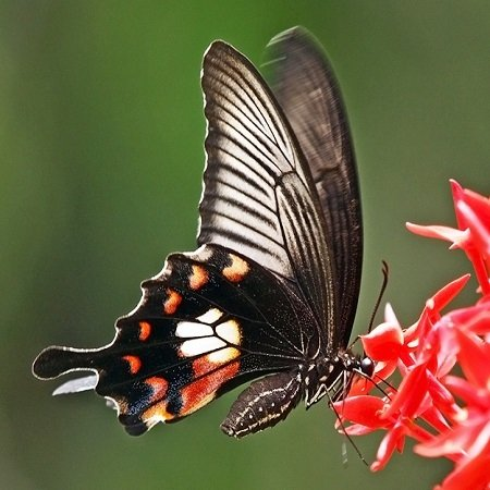 Product Butterfly Papilio polytes
