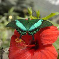 Product Butterfly Papilio palinurus