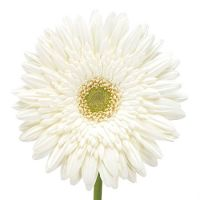 Bouquet White gerberas by the piece