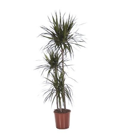 Product Dracaena Marginata (above 1m)