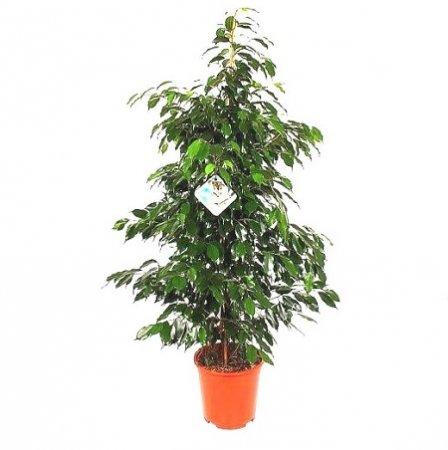 Product Ficus Benjamina Anastasia (above 1m)