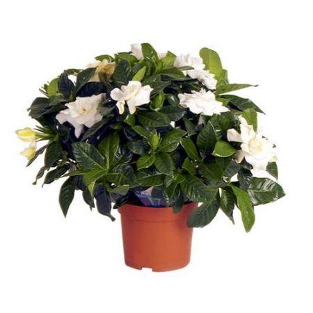 Product Gardenia jasminoides