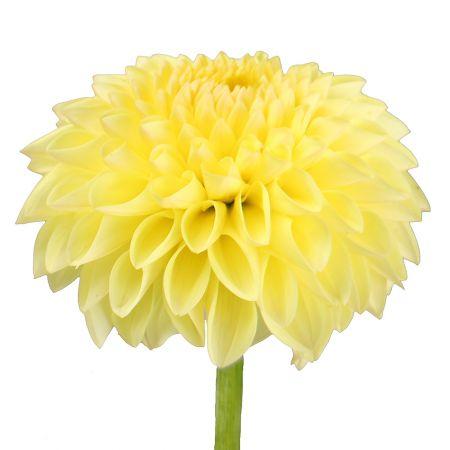 Bouquet Yellow dahlia by piece