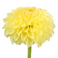 Bouquet Yellow dahlia by piece