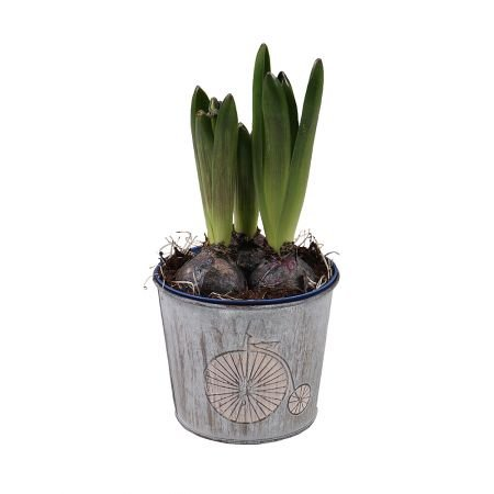Product Hyacinth in the flowerpot