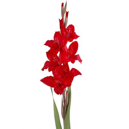 Bouquet Gladiolus red piece