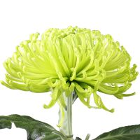 Buy beautiful chrysanthemums with delivery to any city