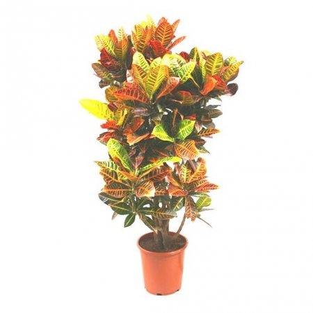 Product Codiaeum / Croton (above 1m)