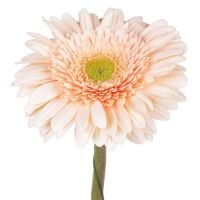 Order cream gerbera by the piece at on-line flower shop