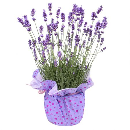 Product Lavender in a pot