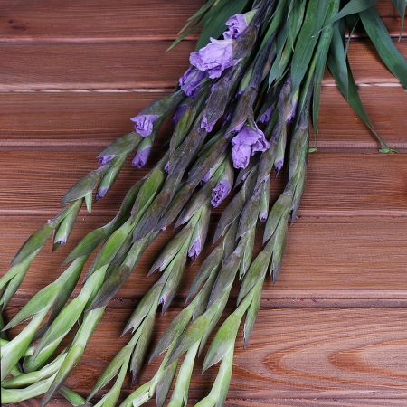 Product Wholesale Gladiolus Milka