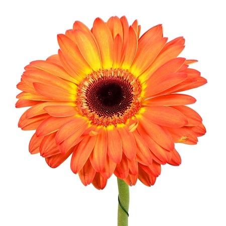 Bouquet Orange gerberas by the piece