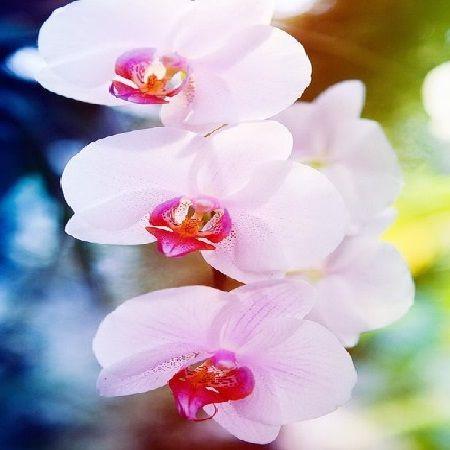 Product Orchid Achilles