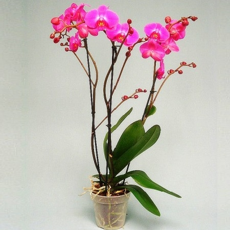 Product Orchid Atlantis