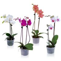 Product Orchid Phalaenopsis
