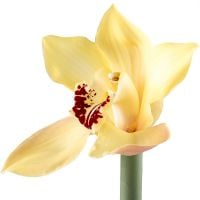 Order yellow orchids at the online shop with delivery