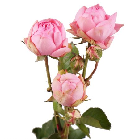Order premium spay rose by the piece at on-line flower shop