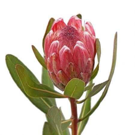 Bouquet Protea by piece