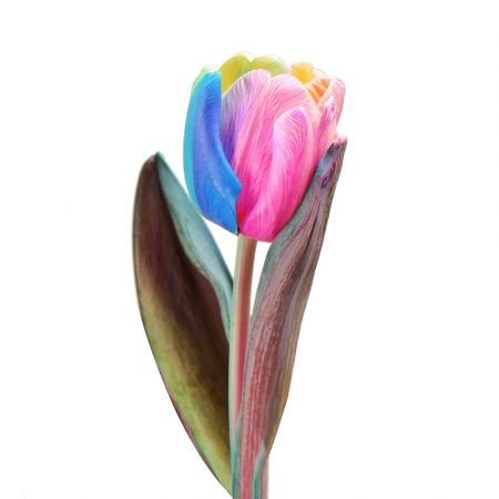 Bouquet Rainbow tulip by piece