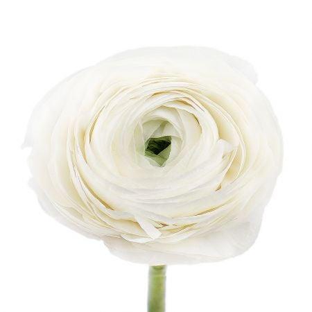 Bouquet Ranunculus white by piece
