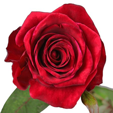 Bouquet Red rose 90 cm by piece