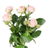 Product Rose Madame Bombastik per piece