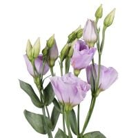 Order bouquet purple eusomas by the piece at on-line flower shop