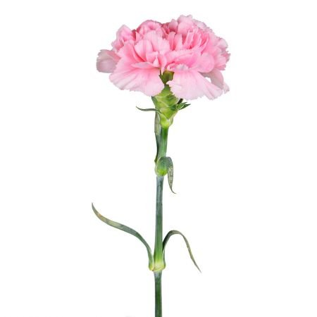 Order light pink carnation by the piece at on-line flower shop