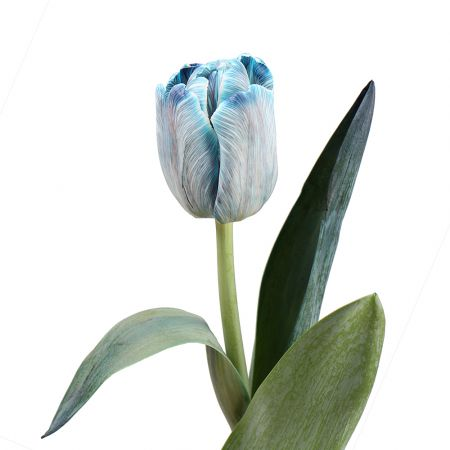 Bouquet Tulips blue by piece