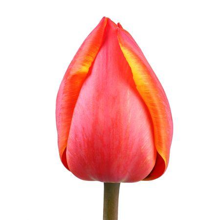Bouquet Tulip local piece