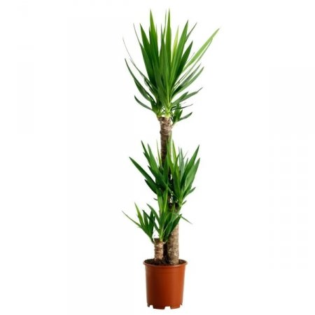 Product Yucca (above 1m)
