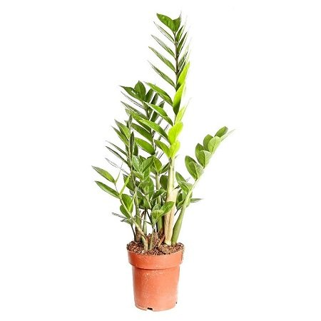 Product Zamioculcas (above 1m)