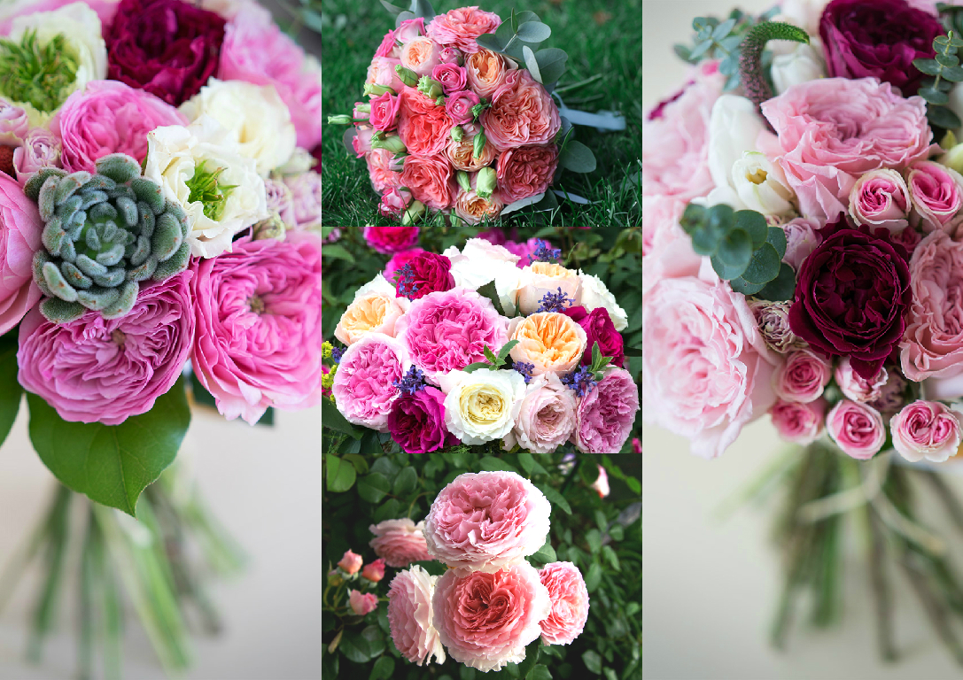 David Austin`s roses