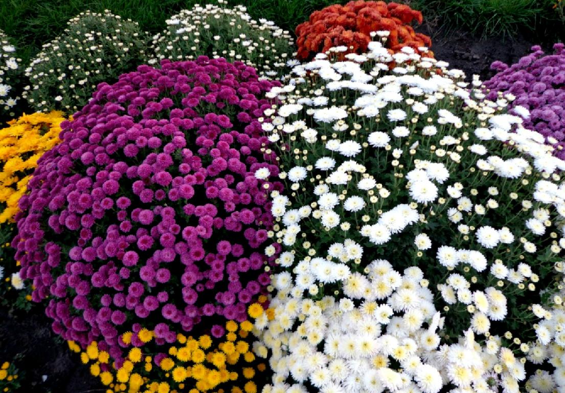 Perennial spray chrysanthemums
