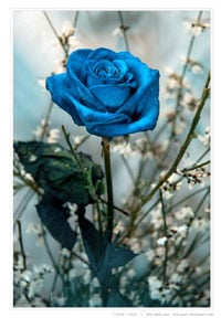 Order blue roses and blue roses delivery.