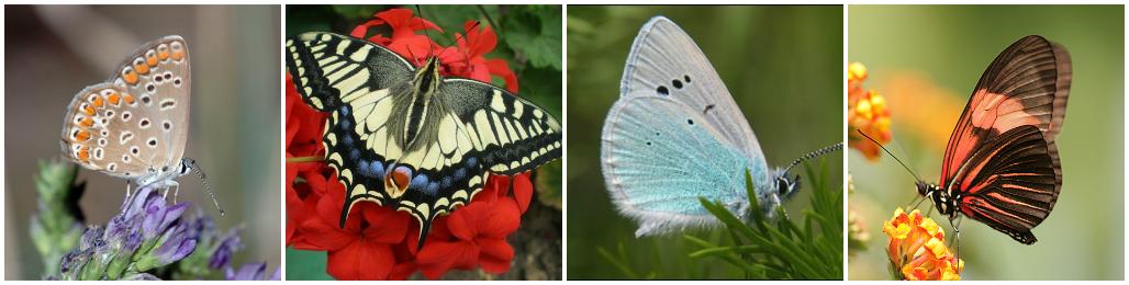 Разновидности бабочек Украины